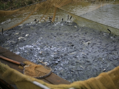 У водойми Дніпропетровщини вселено понад 3 млн екз. цінних видів риб